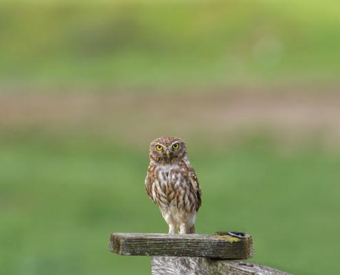 Little owl, Athenenoctua, pójdźka zwyczajna, bird, bird of prey, green background, nature photography Artur Rydzewski, wild life