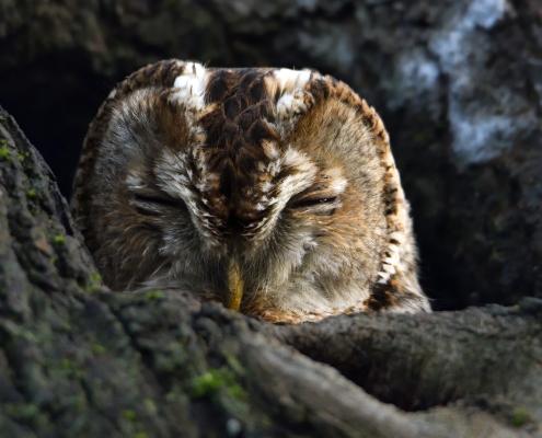 Tawny owl, Brown owl, Strix aluco, Puszczyk zwyczajny, sowa, bird, brown bird, wildlife nature photography Artur Rydzewski