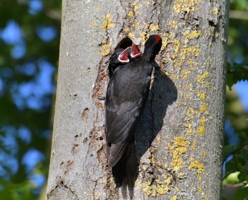 Black woodpecker, Dryocopus martius, Dzięcioł czarny, black bird, bird, nature photography, wild life, Artur Rydzewski