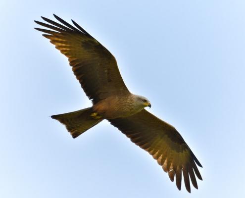 Red kite, Milvus milvus, Kania Ruda, bird, bird of prey, wild life, photography, nature photography, Artur Rydzewski, bird in fly, fly, brown bird