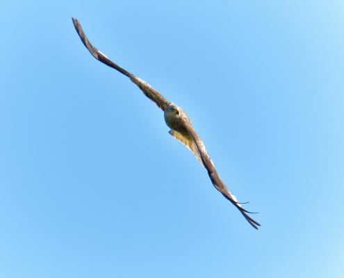 Red kite, Milvus milvus, Kania Ruda, bird, bird of prey, wild life, photography, nature photography, Artur Rydzewski, bird in fly, brown bird, white head, wings