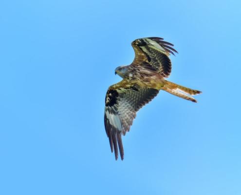 Red kite, Milvus milvus, Kania Ruda, bird, bird of prey, wild life, photography, nature photography, Artur Rydzewski, wings, brown bird, blue sky