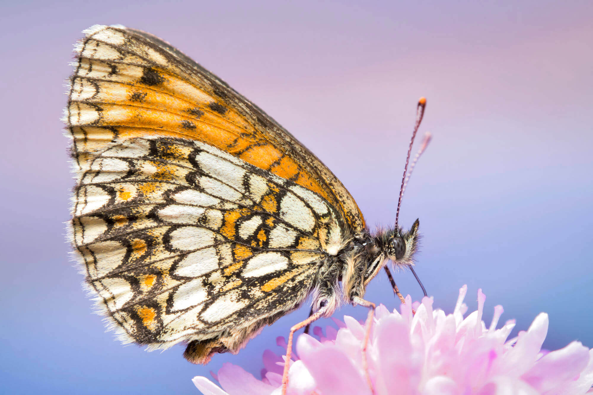 Boloria eunomia, butterfly, macro photography, close up, nature, nature photography