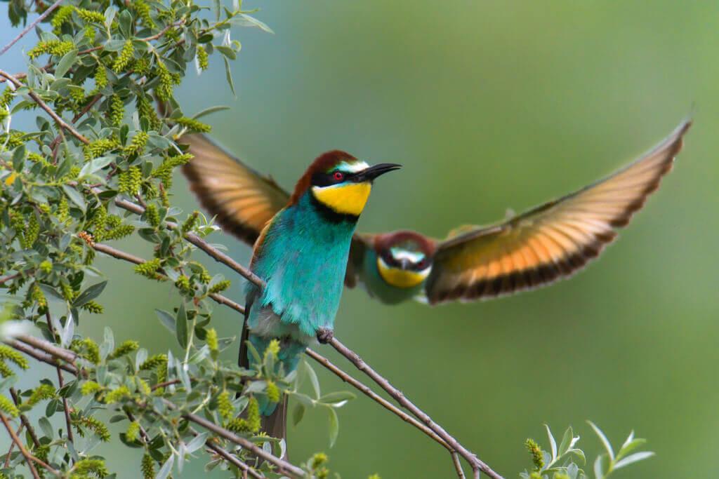 European bee-eater, Merops apiaster, Żołna, mały