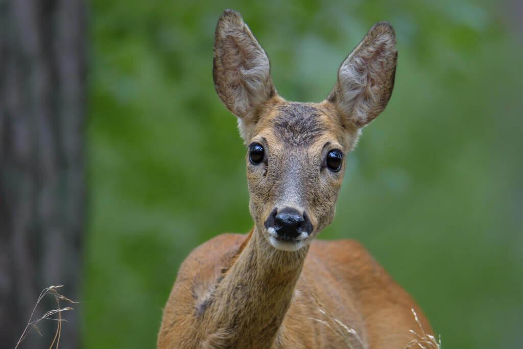 European roe deer, Capreolus, Sarna, animal, animal head, close up, eyes