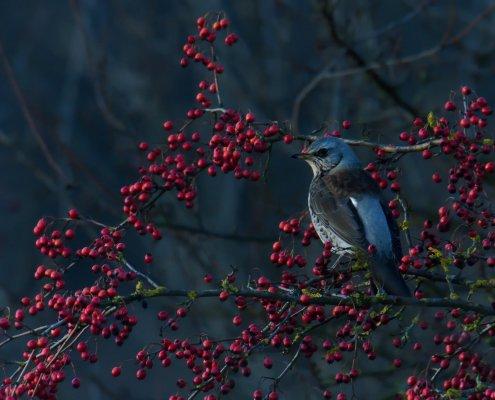 Fieldfare, Turdus pilaris, Kwiczoł, bird on tree with red fruits