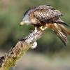 Red kite, Milvus milvus, Kania Ruda brown bird of prey bird on branch big bird landing bird close up wildlife nature photography Artur Rydzewski Rezerwat Świdwie Puszcza Wkrzańska