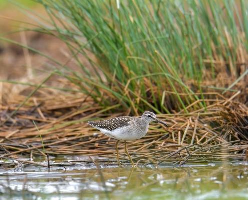 Wood sandpiper, Tringa glareola, Łęczak bird in the water grass