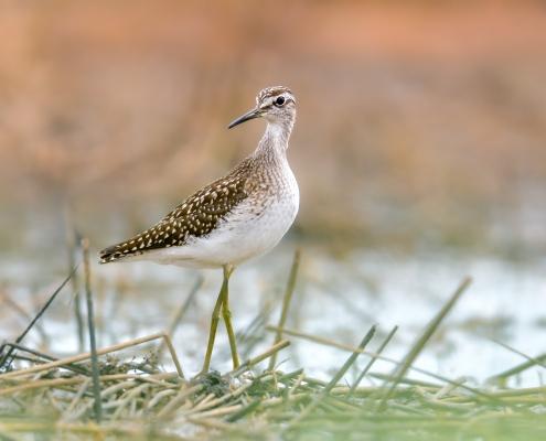 Wood sandpiper, Tringa glareola, Łęczak, long legs bird close up