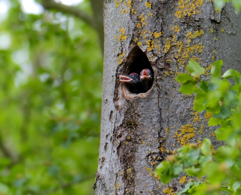 Black woodpecker, Dryocopus martius, Dzięcioł czarny, bird, black bird, black and red, wild wildlife, nature photography artur rydzewski, nest, baby