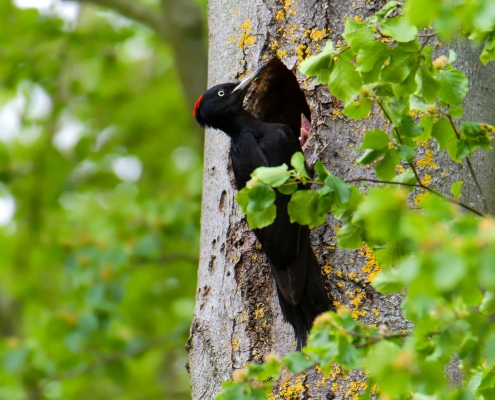 Black woodpecker, Dryocopus martius, Dzięcioł czarny, bird, black bird, black and red, wild wildlife, nature photography artur rydzewski, nest, tree
