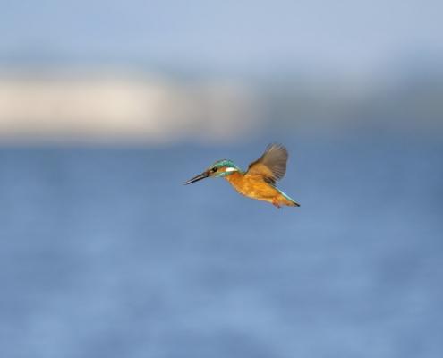 Common kingfisher, Alcedo atthis, Zimorodek small bird blue orange bird, nature photography wild life