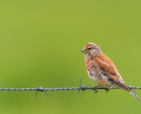 Common linnet, Makolągwa zwyczajna, Linaria cannabina, small orange red bird small bird wild life nature photography