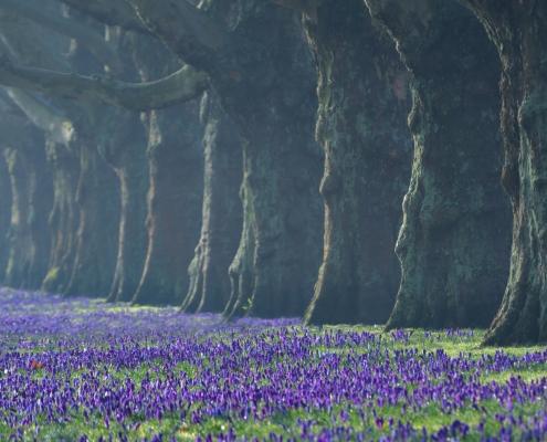 Szczecin aleja kwiatów jasne błonia krokusy na jasnych błoniach w Szczecinie nature photography drzewa trees