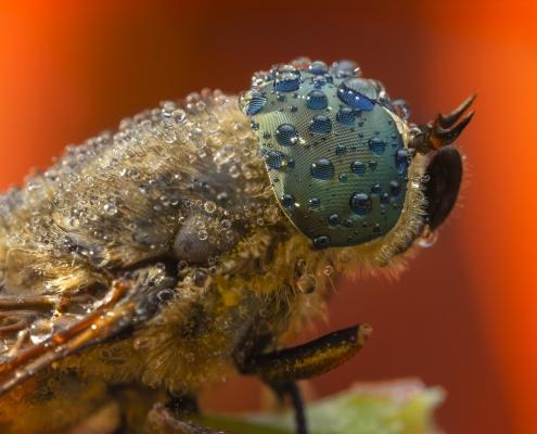 Tabanus bromius, Band-eyed brown horsefly, macro photography extreme macro close up insect eyes orange background