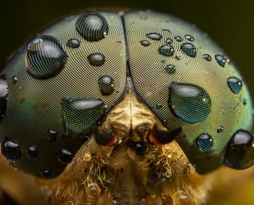 Tabanus bromius, Band-eyed brown horsefly, macro photography extreme macro close up insect eyes water drops rain, dew drops