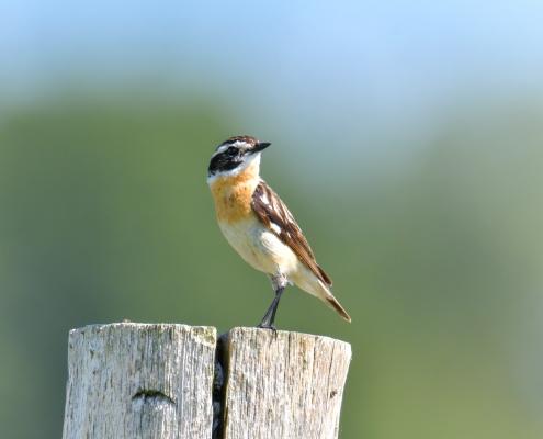 Whinchat, Saxicola rubetra, Pokląskwa nature photography wild life small bird orange brown bird