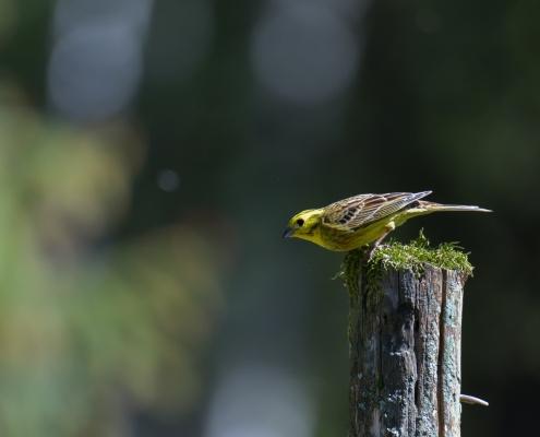 Yellowhammer, Emberiza citrinella, Trznadel close up small yellow bird standing on branch wildlife nature photography Artur Rydzewski puszcza Wkrzańska rezerwat Świdwie
