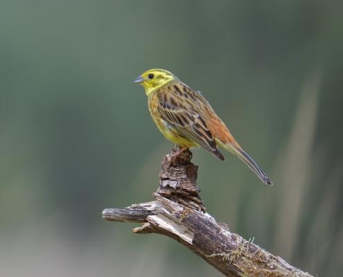 Yellowhammer, Emberiza citrinella, Trznadel, small yellow bird on branch nature photography wildlife puszcza wkrzańska rezerwat świdwie Artur Rydzewski