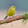 Yellowhammer, Emberiza citrinella, Trznadel, yellow small bird sitting on the stick, wildlife nature photography Artur Rydzewski stick with moss
