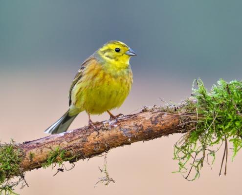 Yellowhammer, Emberiza citrinella, Trznadel, yellow small bird sitting on the stick, wildlife nature photography Artur Rydzewski stick with moss