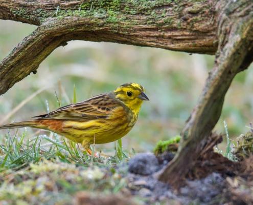 Yellowhammer, Emberiza citrinella, Trznadel, yellow small bird walking, wildlife nature photography Artur Rydzewski