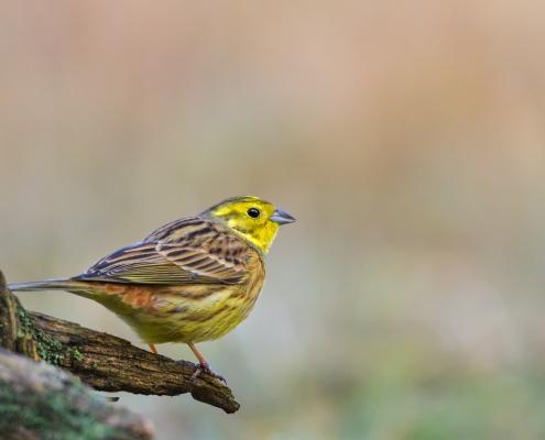 Yellowhammer, Emberiza citrinella, Trznadel, yellow small bird sitting on the stick, yellow orange bird, wildlife nature photography Artur Rydzewski