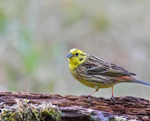 Yellowhammer, Emberiza citrinella, Trznadel close up small yellow bird standing on branch wildlife nature photography Artur Rydzewski