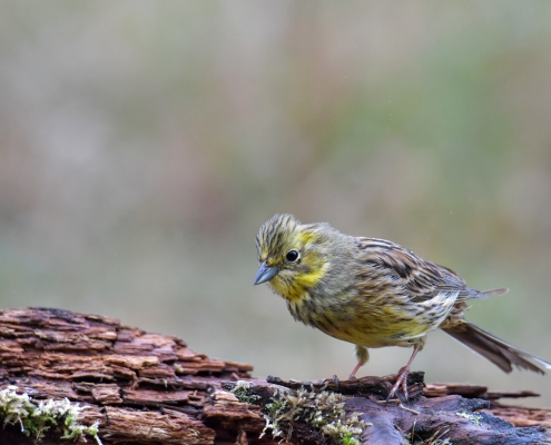 Yellowhammer, Emberiza citrinella, Trznadel close up small yellow bird standing on branch looking for food wildlife nature photography Artur Rydzewski