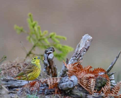 Yellowhammer, Emberiza citrinella, Trznadel, small yellow bird, moss, meadow, nature, wild, wildlife, small tree, ptak, żółty ptak, mały ptak, małe drzewo iglaste, poranna puszcza, Puszcza Wkrzańska, Rezerwat Świdwie, Artur Rydzewski