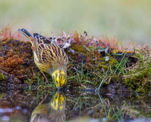 Yellowhammer, Emberiza citrinella, Trznadel, small yellow bird, moss, nature, wild, wildlife, water reflection, odbicie w wodzie, ptak, żółty ptak, mały ptak, Puszcza Wkrzańska, Rezerwat Świdwie, Artur Rydzewski