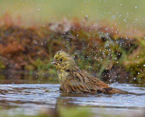 Yellowhammer, Emberiza citrinella, bird, small bird, yellow bird, water, bird in water, bathing bird, Trznadel ptak, żółty ptak, kąpiący się ptak, ptak w wodzie, woda