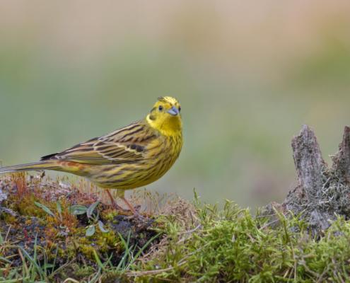 Yellowhammer, Emberiza citrinella, bird, yellow bird, small bird, Trznadel, ptak, żółty ptak, mały żółty ptak