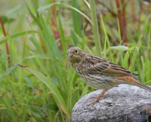Yellowhammer, Emberiza citrinella, Trznadel, bird, yellow bird, small bird, bird on stick, ptak, żółty ptak, mały ptak, puszcza wkrzańska, rezerwat świdwie, kamień