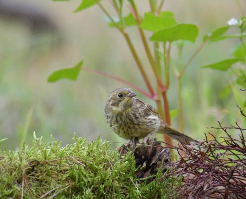 Yellowhammer, Emberiza citrinella, Trznadel, bird, yellow bird, small bird, bird on stick, ptak, żółty ptak, ptak na patyku, puszcza wkrzańska, rezerwat świdwie