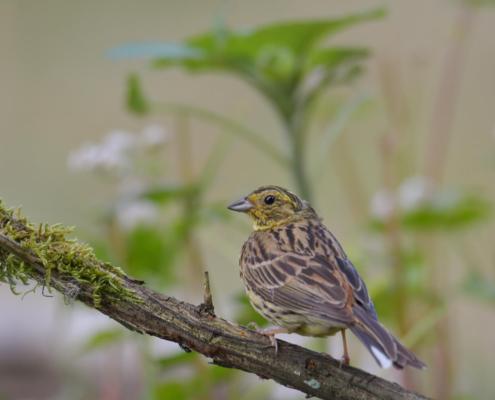 Yellowhammer, Emberiza citrinella, Trznadel, bird, yellow bird, small bird, bird on stick, ptak, żółty ptak, puszcza wkrzańska, rezerwat świdwie