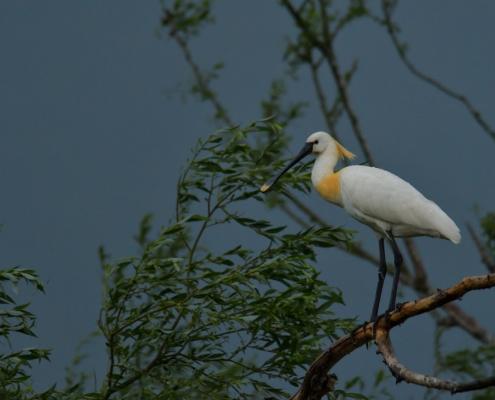 Eurasian spoonbill, Platalea leucorodia, Warzęcha, white big bird on tree branch wildlife nature photography