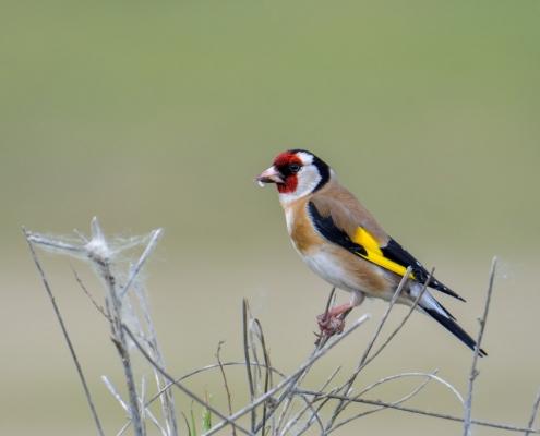 European goldfinch, Carduelis carduelis, Szczygieł, small fullcolor bird, red head
