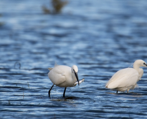 Little egret, Egretta garzetta, Czapla nadobna, heron egret white long legs bird with fish wildlife nature photography