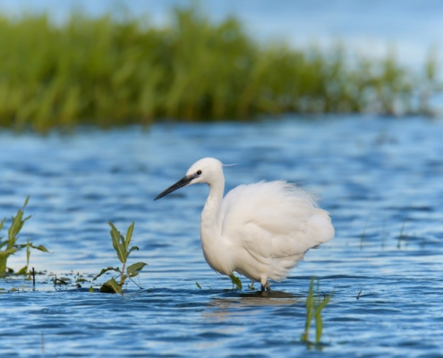 Little egret, Egretta garzetta, Czapla nadobna, heron egret white long legs bird in water wildlife nature photography
