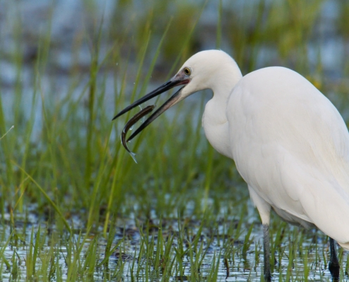Little egret, Egretta garzetta, Czapla nadobna, heron egret white long legs bird with fish close up wildlife nature photography