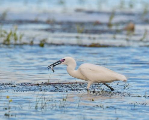 Little egret, Egretta garzetta, Czapla nadobna, heron egret white long legs bird with fish in blue water wildlife nature photography