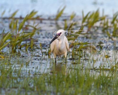 Little egret, Egretta garzetta, Czapla nadobna, heron egret white long legs bird grass in water wildlife nature photography
