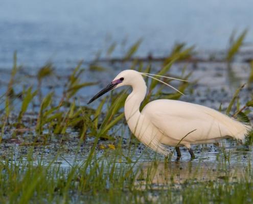 Little egret, Egretta garzetta, Czapla nadobna, heron egret white long legs bird in water and grass wildlife nature photography