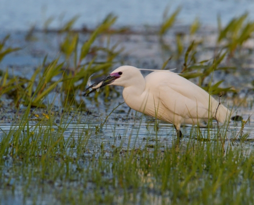 Little egret, Egretta garzetta, Czapla nadobna, heron egret white long legs bird with fish in water and high grass wildlife nature photography