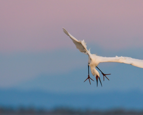 Little egret, Egretta garzetta, Czapla nadobna, heron egret white long legs bird in flight wildlife nature photography
