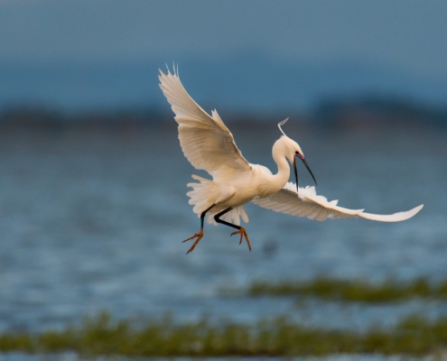 Little egret, Egretta garzetta, Czapla nadobna, heron egret white long legs bird in flight over water wildlife nature photography