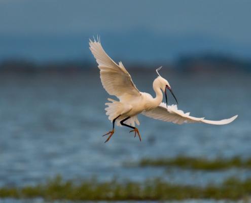 Little egret, Egretta garzetta, Czapla nadobna, heron egret white long legs bird in flight over water wildlife nature photography