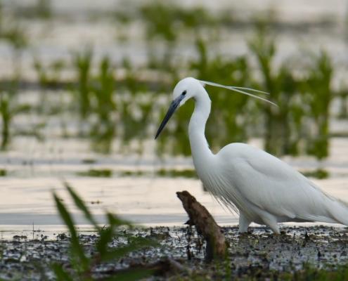 Little egret, Egretta garzetta, Czapla nadobna, heron egret white long legs bird long beak wildlife nature photography