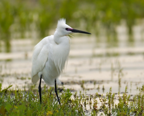 Little egret, Egretta garzetta, Czapla nadobna, heron egret white long legs bird in water and grass wildlife nature photography